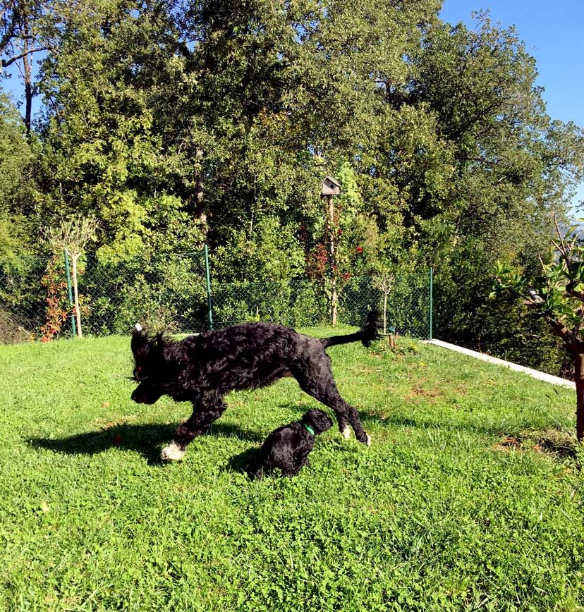 Amigo de Pescador | Portugiesische Wasserhund